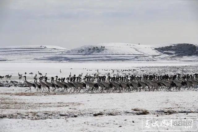 大山包:黑颈鹤踏雪,形如水墨画!