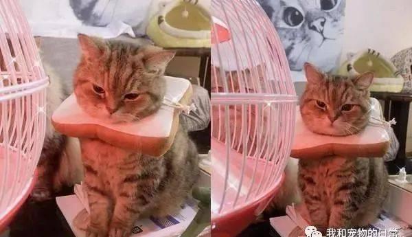 这只外表超级童颜的猫咪,完全看不出来已经15岁了!