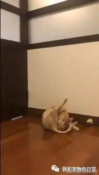 """不开心就滚!橘猫""""秒成气球""""向前滚翻3连发……"""