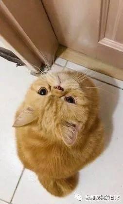 橘猫试图伸爪自行开罐罐,大概成精了!