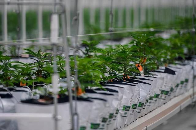 散户投资者正在关注大麻行业,日晷种植者在市场之前已经上涨了近50%