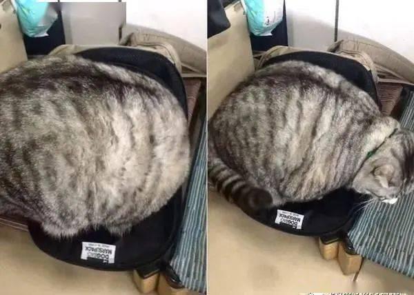 7kg肥猫硬塞小包包,正面进不去,改用倒车入库!