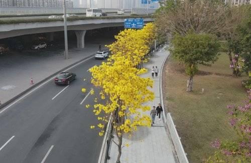 黄花风铃木花开正盛,等你来打卡