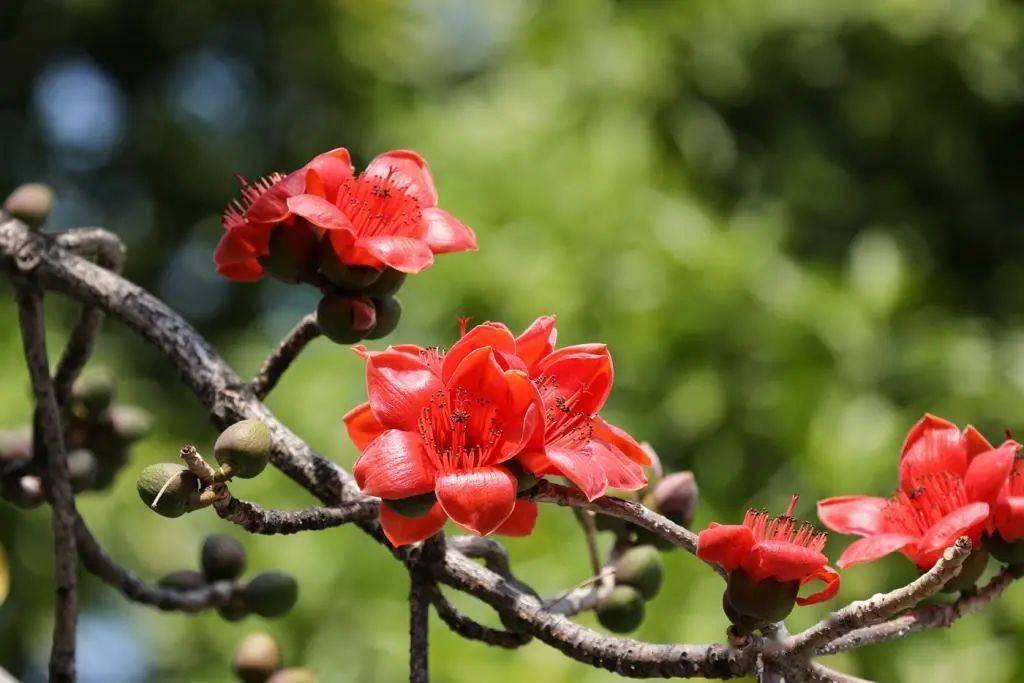 深圳的木棉花红了!赏花走起!