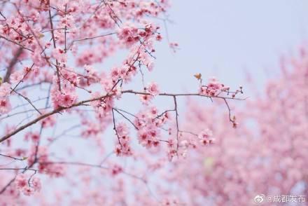 天辰注册地址成都植物园春花盛开 美得如梦如幻