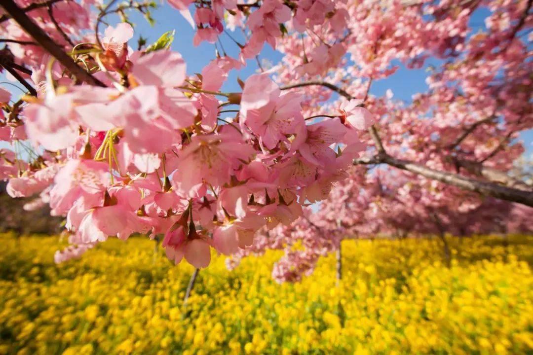 百万樱花又粉染黄河岸!古柏渡丰乐樱花园今天开园