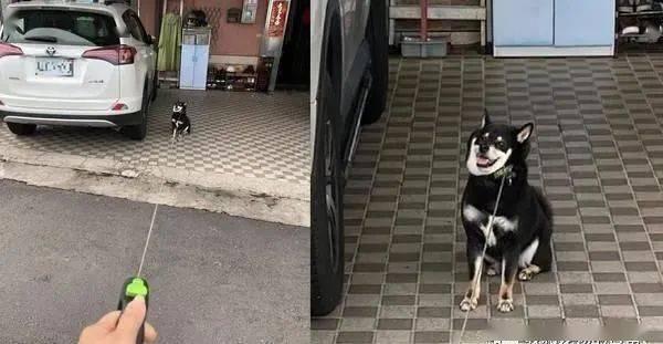 带柴犬出门走到一半突然不走,她PO养柴日常钓出一票苦主!