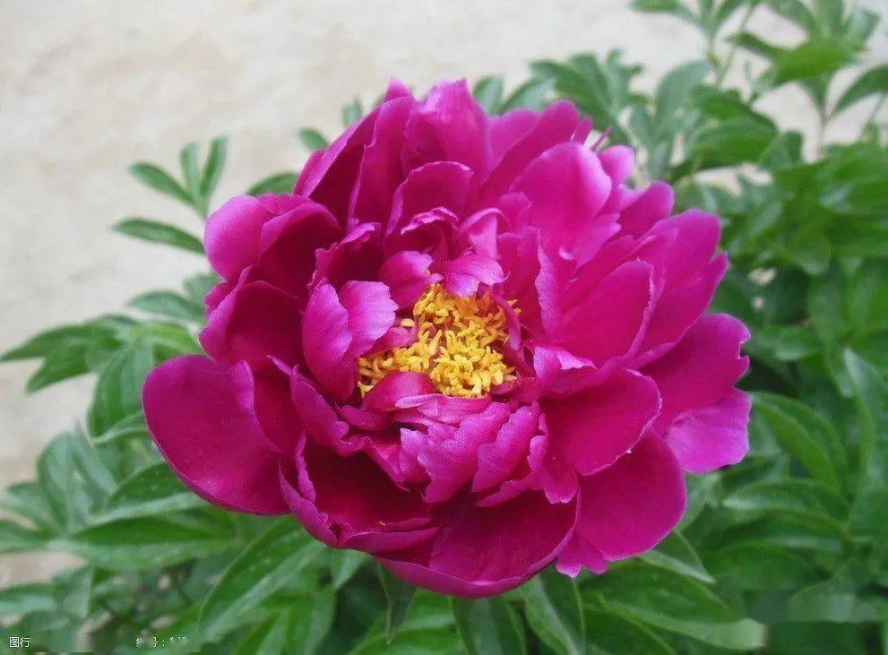 樱花动漫:不同的花有不同的花语,同是芍药,不同的文人从中悟出了不同的道 网络快讯 第3张