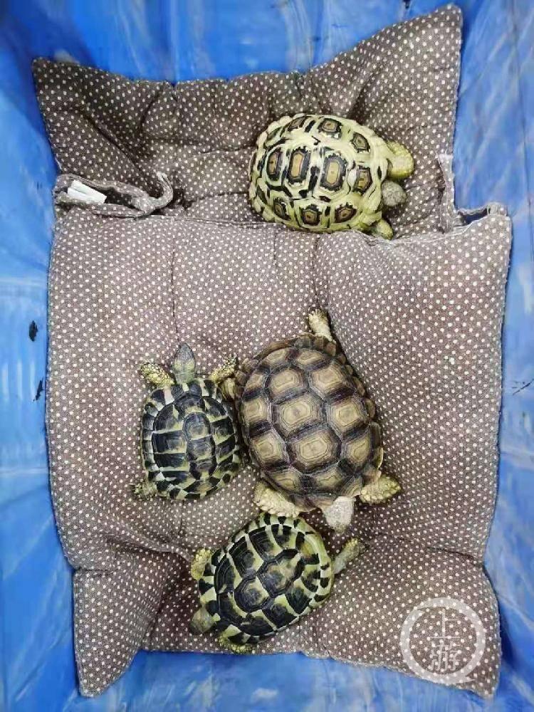 小伙意外买到珍贵陆龟想悄悄脱手 却因违规交易被刑拘
