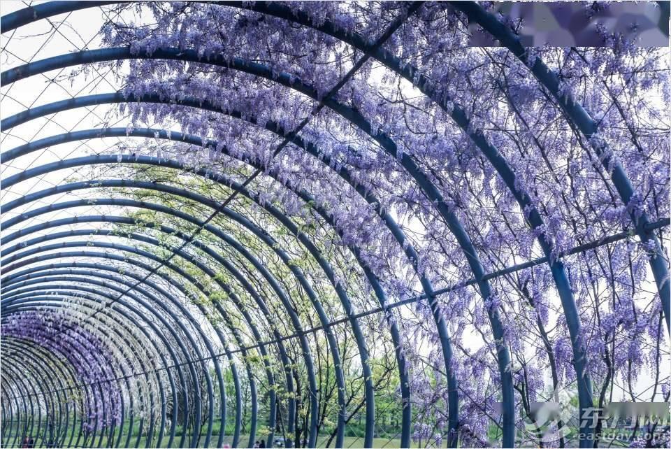 垂摇如璎 辰山植物园紫藤即将迎来盛花期