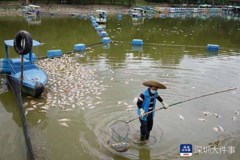 深圳莲花山公园湖面漂浮大量死鱼,工作人员一上午打捞上千斤