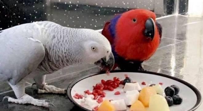 打嗝放屁擤鼻子 国外一只鹦鹉拥有超强模仿能力