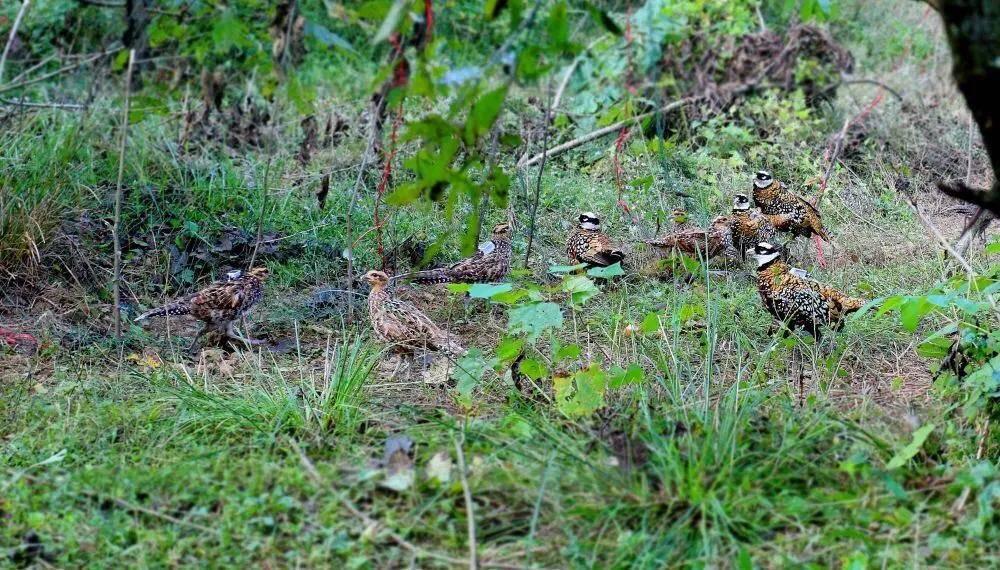 40只国家一级重点保护野生动物——白冠长尾雉被放归壶瓶山