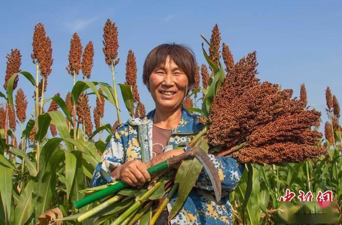 洪泽湖畔红高粱喜获丰收 多样性秋粮种植助农增收